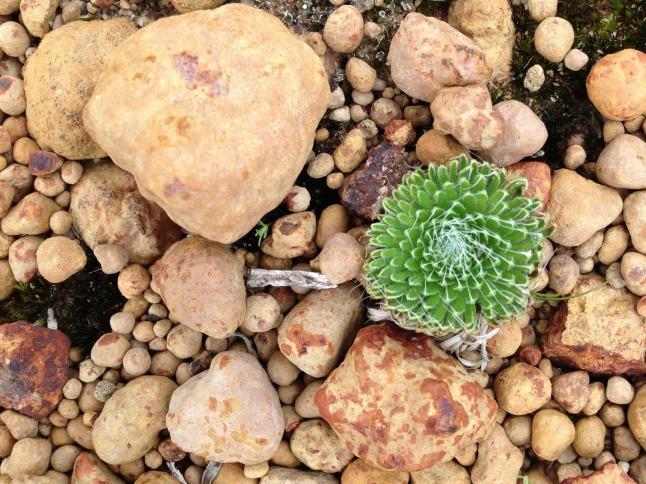 pebble plant